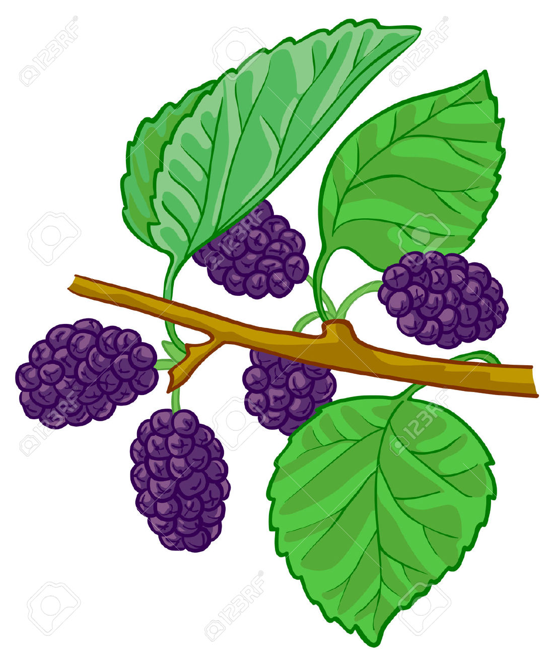 Isolated Vector Illustration Of Mulberry Branch Royalty Free.