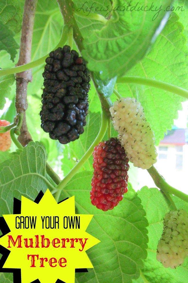 Mais de 1000 ideias sobre Mulberry Tree no Pinterest.