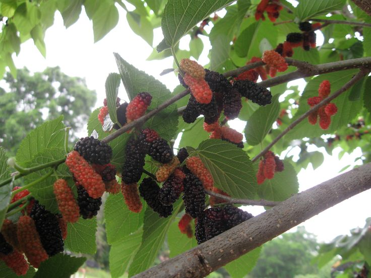 1000+ ideas about Mulberry Tree on Pinterest.