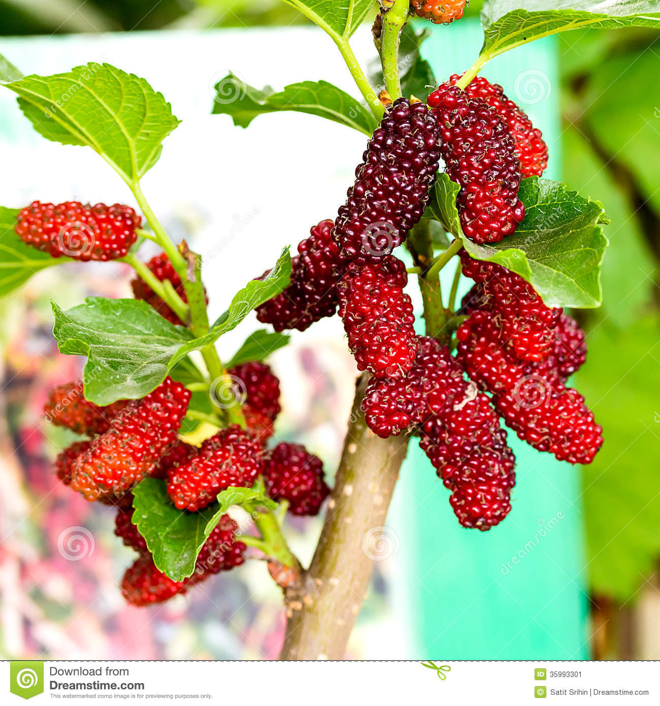 Mulberry Fruit Stock Image.
