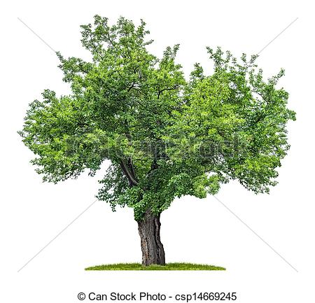 Mulberry Tree Clipart.