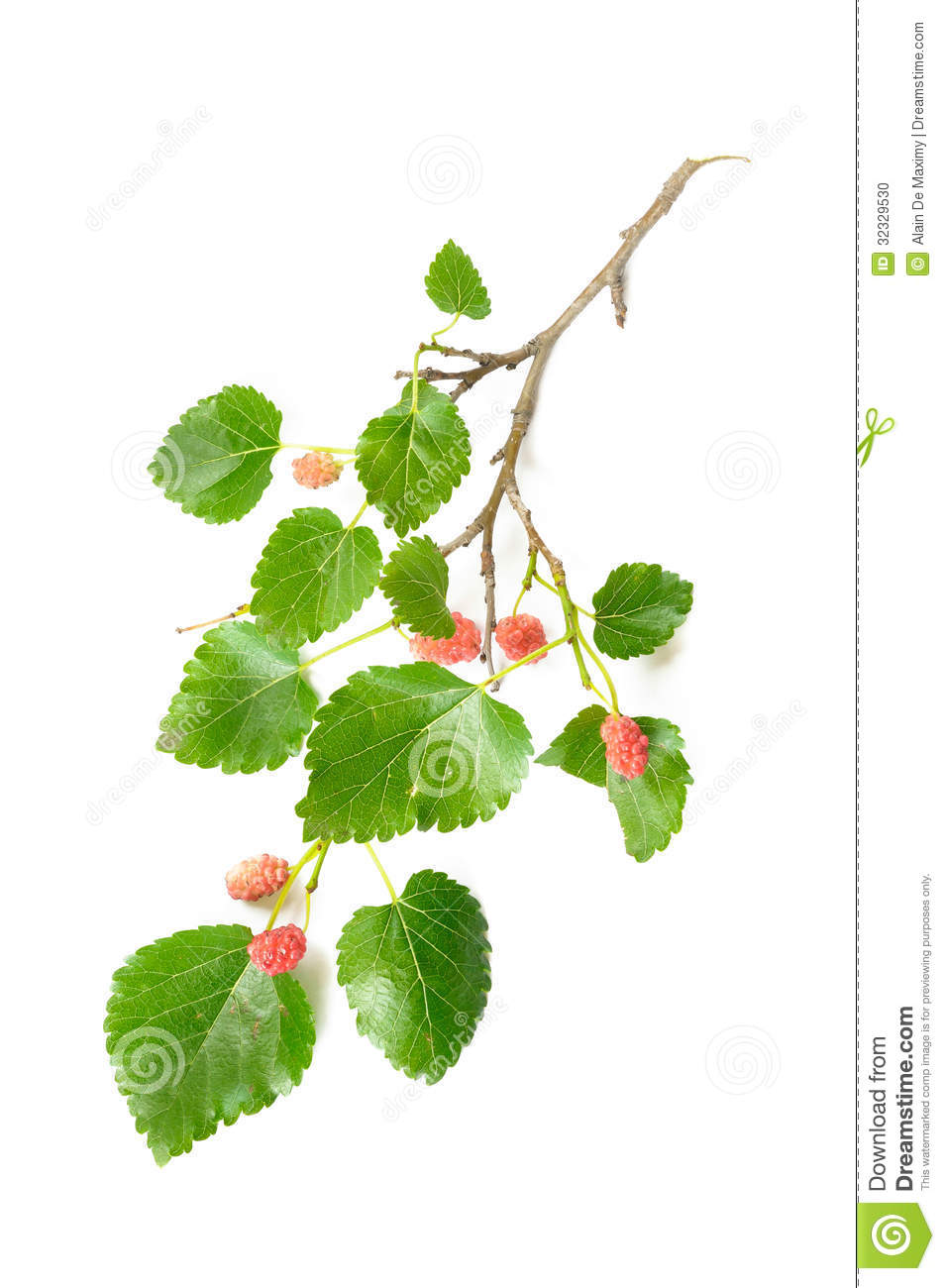 Mulberry Tree Branch With Fruits Stock Photo.
