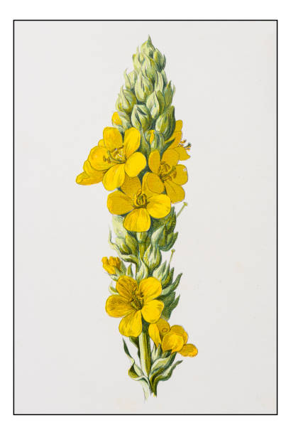 Mullein Clip Art, Vector Images & Illustrations.