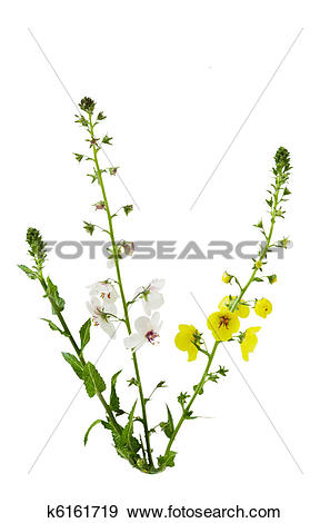 Stock Photograph of Moth Mullein k6161719.