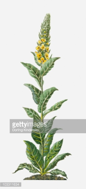 Verbascum Thapsus With Yellow Flowers And Green Leaves On Tall.