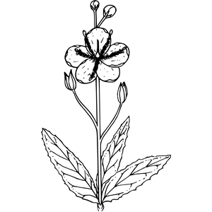Moth mullein clipart, cliparts of Moth mullein free download (wmf.