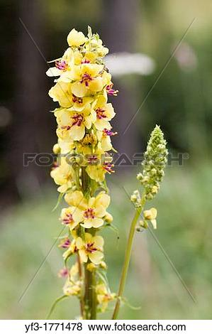Pictures of Great Mullein Verbascum thapsus, France. yf3.