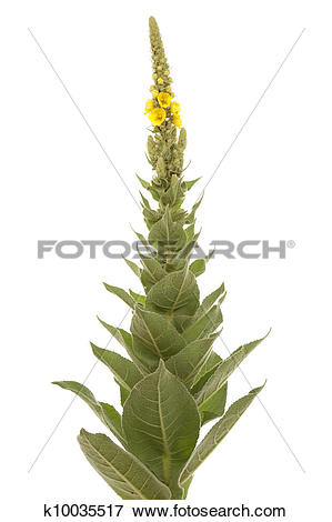 Picture of mullein k10035517.