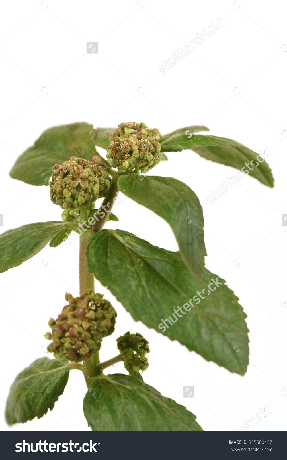 Garden Spurge, Asthma Weed, Snake Weed, Milk Weeds (Euphorbia.