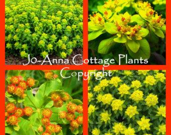 Euphorbia.