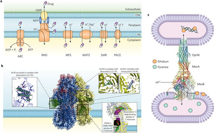 Mechanisms of envelope permeability and antibiotic influx and.