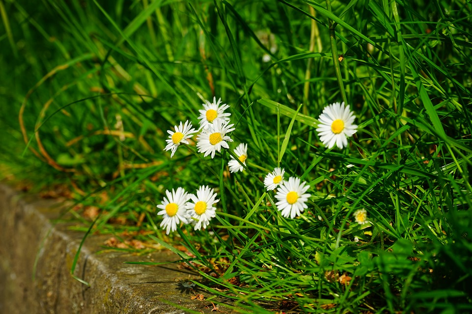 Free photo: Daisy, Flowers, White, Spring.