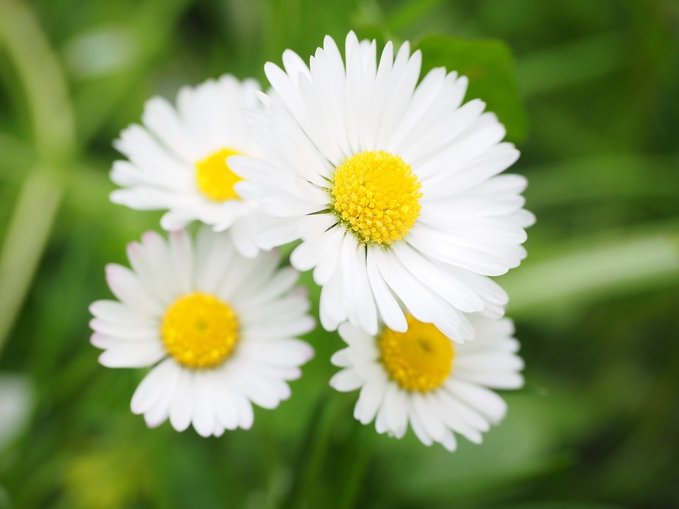 Free photo: Daisy, Flower, Blossom, Bloom.