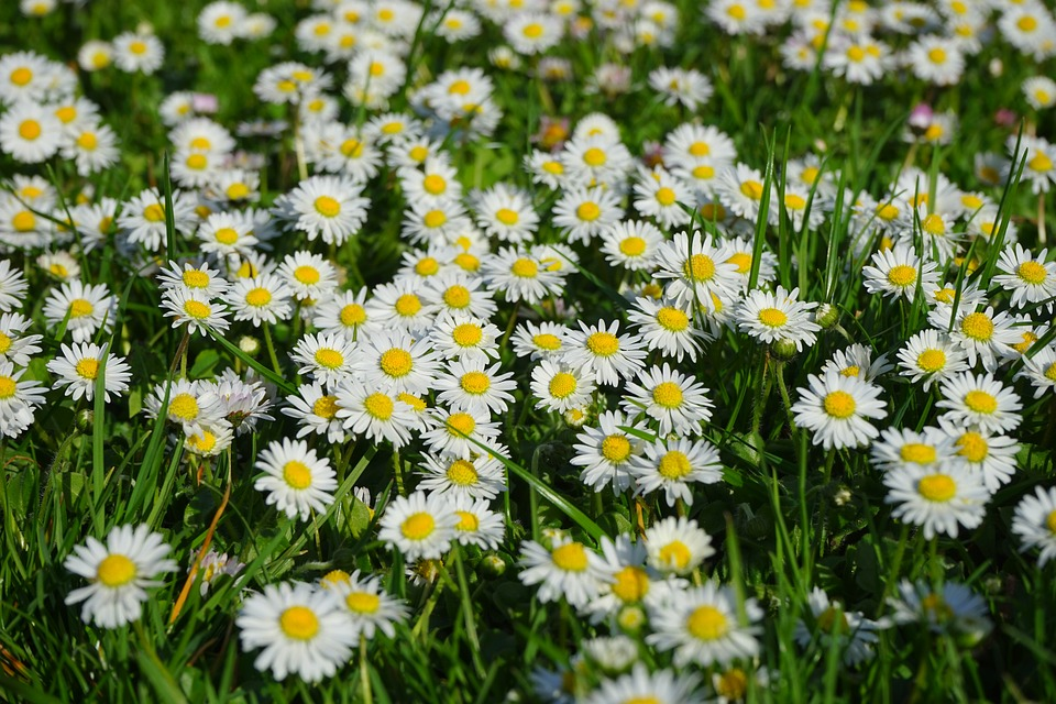 Free photo: Daisy, Flower Carpet, White, Flower.