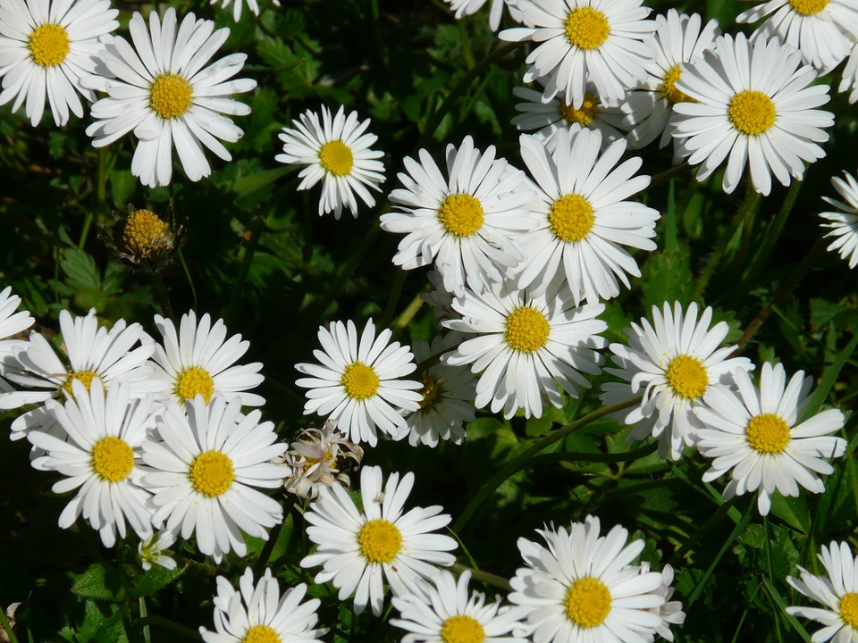 Free photo: Daisy, Flower, Plant, Garden.