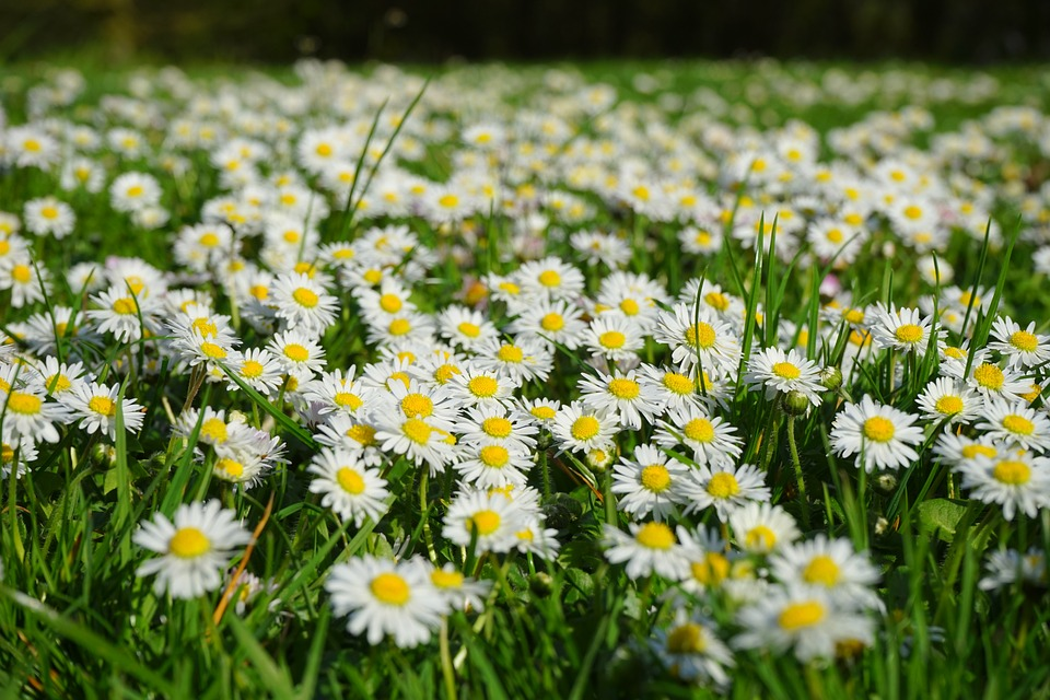 Free photo: Daisy, Flower Carpet, White, Meadow.