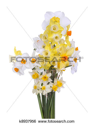 Stock Images of Multiple stems of brightly colored daffodils form.