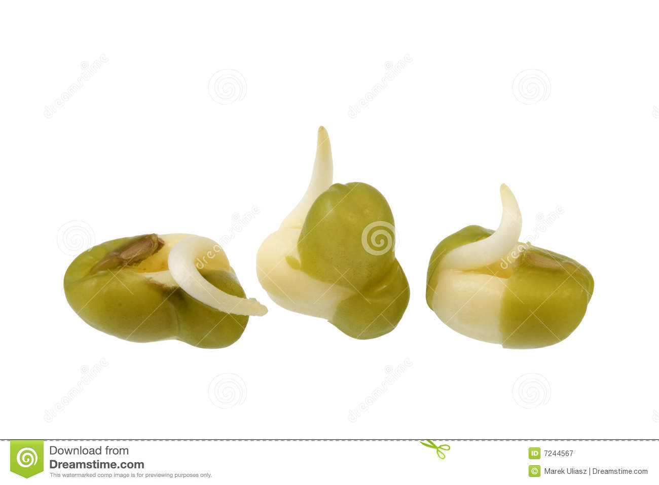 Mung Bean Sprouting Royalty Free Stock Photography.