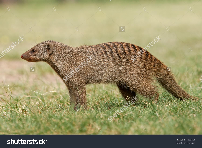 Banded Mongoose (Mungos Mungo), Etosha National Park, Namibia.