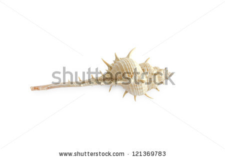 Black Murex Seashell Isolated Stock Photos, Royalty.