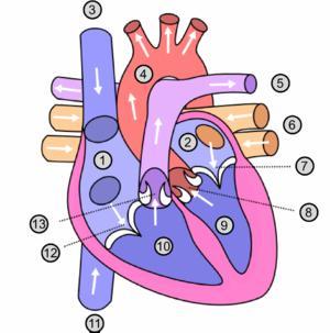 Benign functional heart murmur.