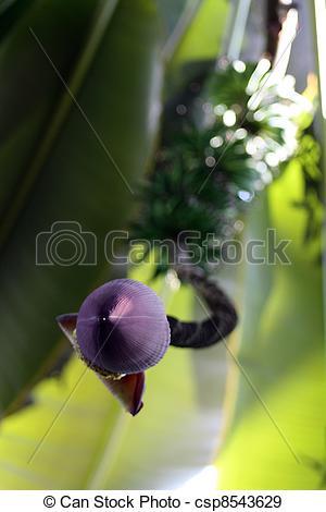 Stock Photographs of Musa paradisiaca flower.