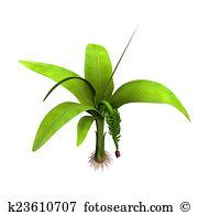 Musa paradisiaca Stock Photo Images. 90 musa paradisiaca royalty.