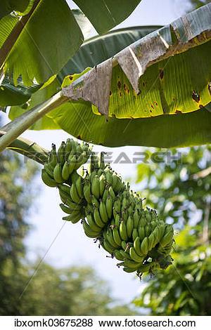 "Pictures of ""Banana Plant (Musa paradisiaca), Peermade, Kerala."