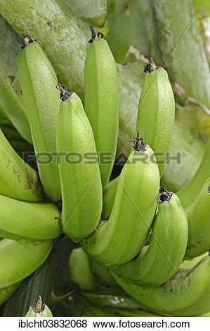"Pictures of ""Banana tree, Bananas (Musa paradisiaca."