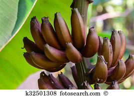 Musaceae Stock Photo Images. 278 musaceae royalty free images and.
