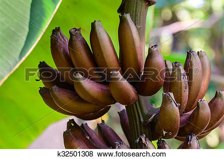 Pictures of Red banana, Musa Nak Musaceae, AAA group. k32501308.
