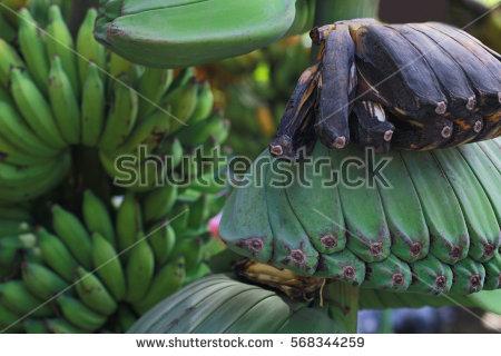 Musaceae Stock Photos, Royalty.