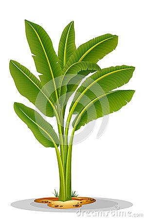 Musaceae Stock Illustrations.