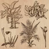 Musaceae Clip Art.