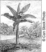 Musaceae Vector Clip Art EPS Images. 5 Musaceae clipart vector.