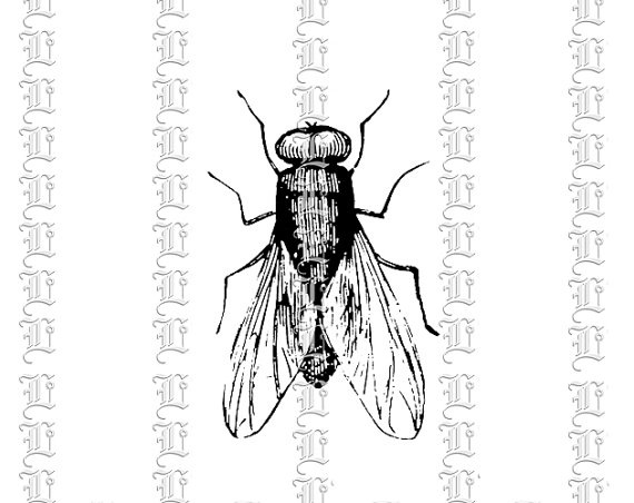 House Insect Fly Musca Domestica Vintage Clip Art Illustrations.