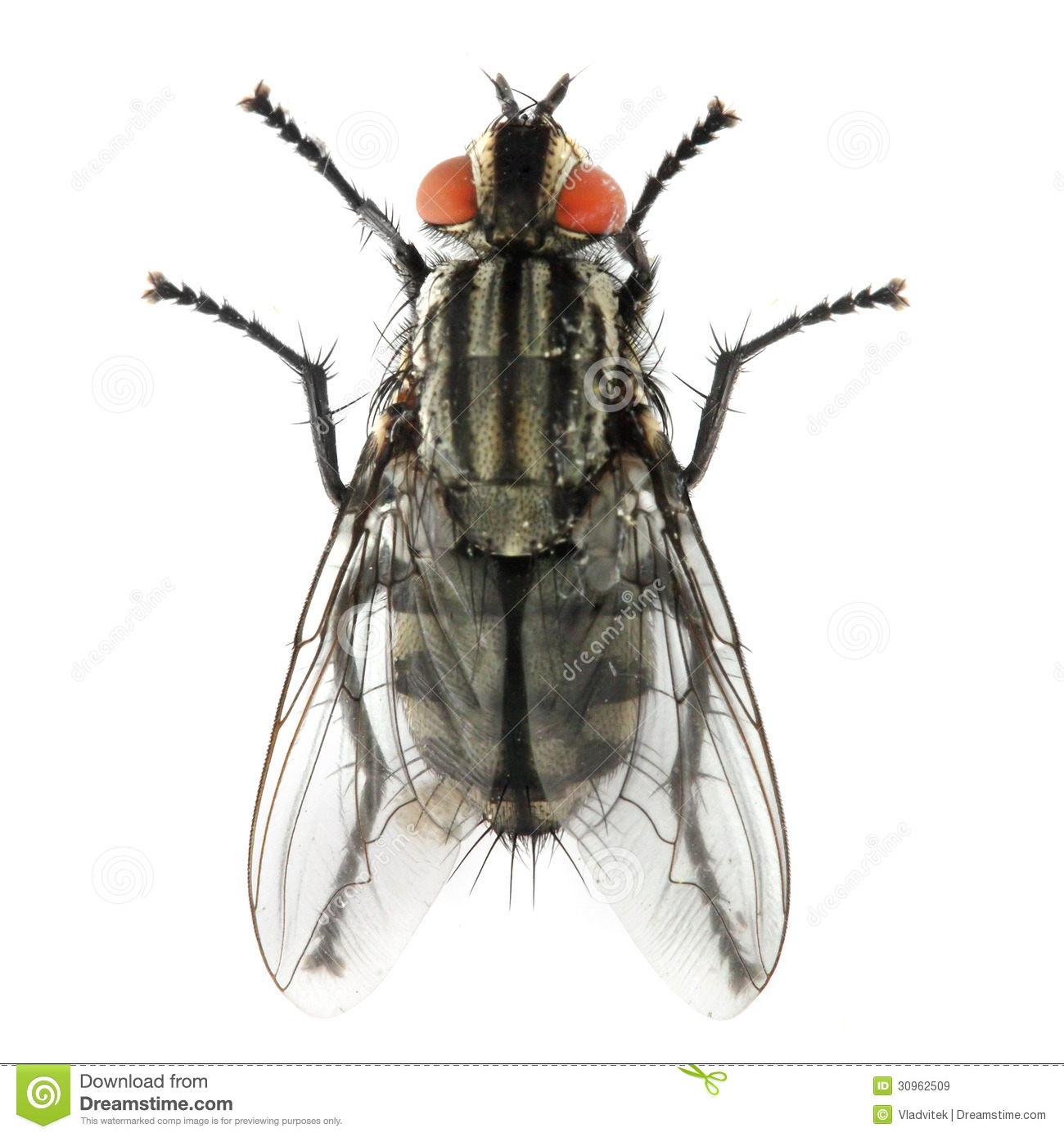 The House Fly ( Musca Domestica ). Royalty Free Stock Images.