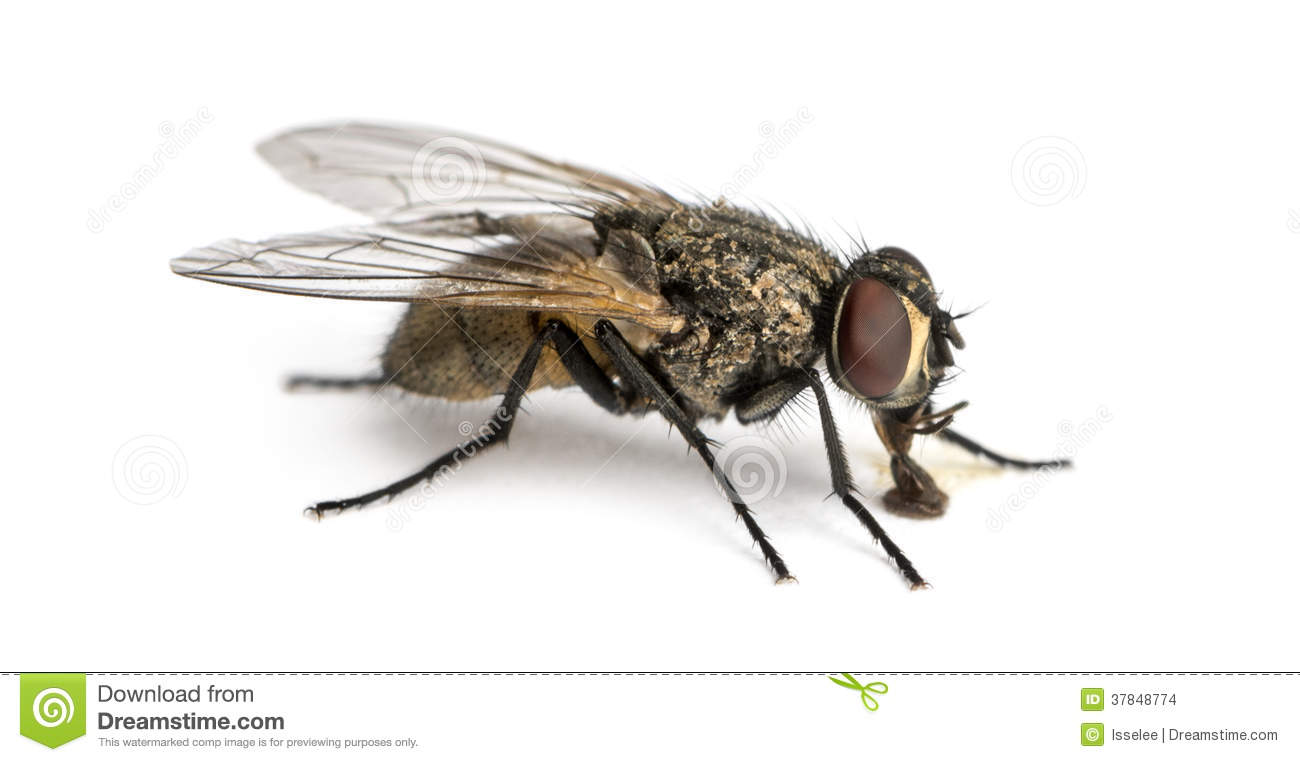 Side View Of Housefly, Musca Domestica Stock Photography.
