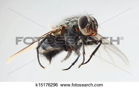 Stock Images of Musca Domestica Magnification k15176296.