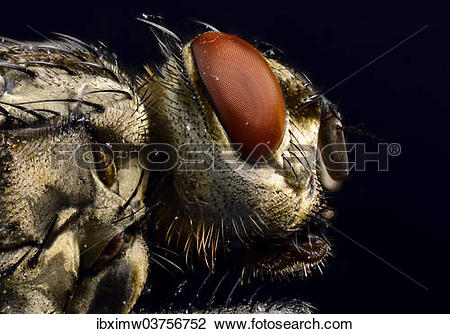 "Stock Photo of ""Compound eye, head, Common Housefly (Musca."