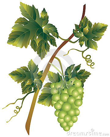 Muscadine Stock Illustrations.