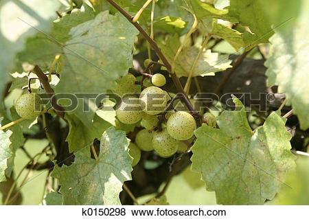 Pictures of Muscadine Grapes k0150298.