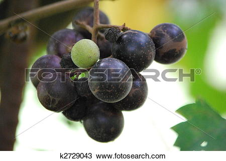 Stock Photo of Muscadine Grapes k2729043.