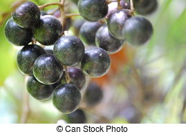 Muscadine Stock Photos and Images. 121 Muscadine pictures and.