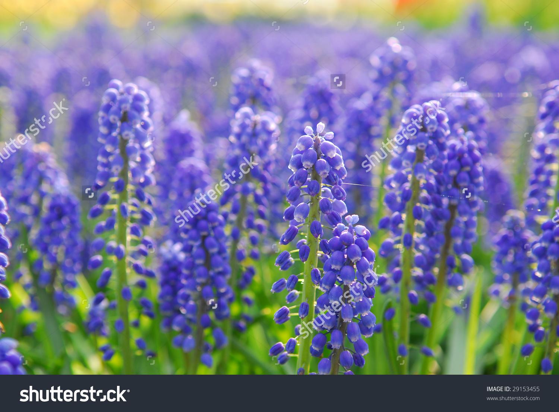 Muscari Armeniacum Or Grape Hyacinth In Spring Garden 'Keukenhof.