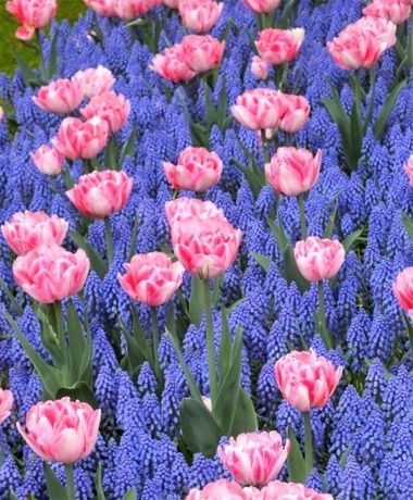 1000+ ideas about Muscari Flowers on Pinterest.