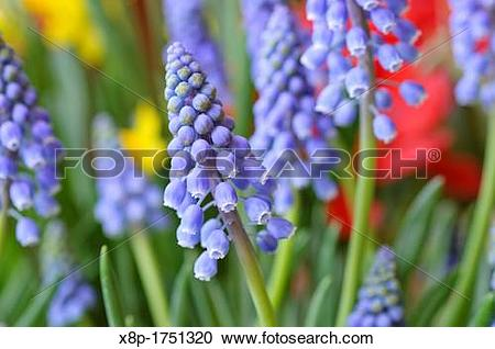 Stock Photography of Armenian grape hyacinth Muscari armeniacum.