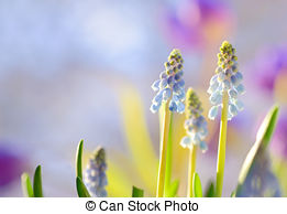 Stock Images of Bluebells flower (Grape Hyacinth, Muscari.