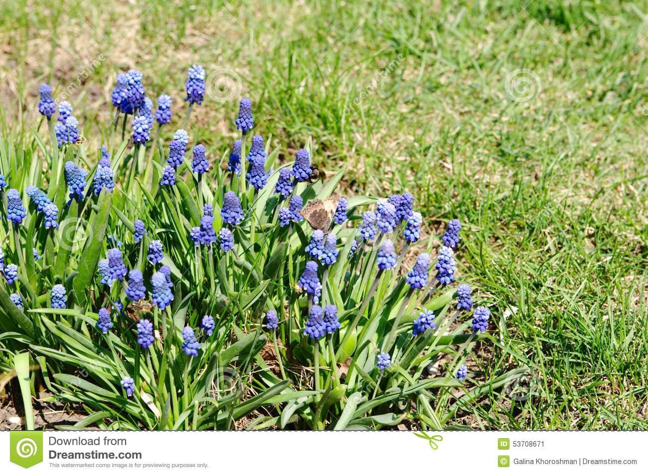 Flower Bed With Muscari Armenian (lat.Muscari Armeniacum) Stock.