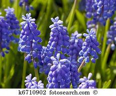 Muscari armeniacum Stock Photos and Images. 403 muscari armeniacum.
